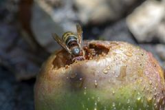 Big insect biting apple, largest eusocial wasp, european hornet macro close up view. Funny animal royalty free stock photo