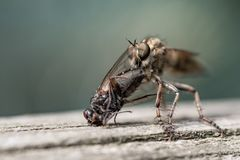 Big insect eating fly royalty free stock photo