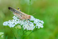 The big insect a grasshopper Stock Photo