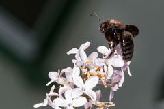 Big insect on lilac flowers Stock Images