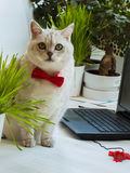 Big intelligent cat in the red bow tie sitting near with the laptop and very attentively looking at us Stock Images