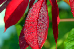 Big Island Dew on Poinsettia Royalty Free Stock Image