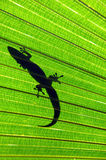 Big Island Gecko Royalty Free Stock Photo