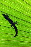 Big Island Gecko royalty free stock photo