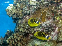 Raccoon butterflyfish ,Chaetodon lunula. Big island Hawaii raccoon butterflyfish, Chaetodon lunula on coral reef Royalty Free Stock Photos