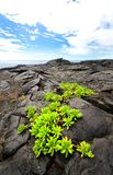 Big Island, Hawaii Volcanoes National Park. Black Lava rock river. New plants Stock Photos