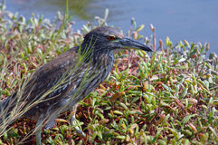 Big Island Heron Royalty Free Stock Images