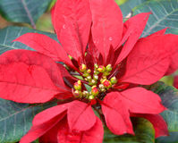 Big Island Poinsettia. Bloom of Red Poinsettia growing on a Poinsettia plant in a garden on the Big Island of Hawaii stock photography