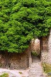 Big ivy Tree Royalty Free Stock Images
