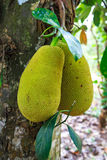 Big jackfruit growing on the trunk  of a tree Royalty Free Stock Photos