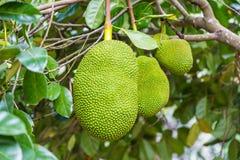 Big jackfruit hanging on its tree Stock Photography