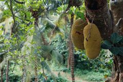 Big jackfruits on a tree in Indonesia Bali. Stock Photography
