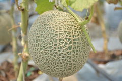 Big Japanese Kimochi sweet melon. Stock Photography