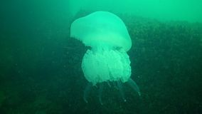 Big jellyfish in the Black Sea, Rhizostoma pulmo, floating in the water column. A scyphomedusa in the family Rhizostomatidae stock footage