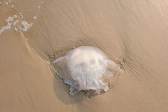 Big jellyfish death on beach in Thailand. Top view. A big jellyfish death on beach in Thailand. Top view Royalty Free Stock Photography