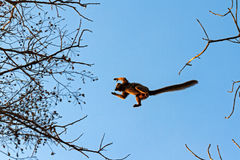 Big jump lemur Royalty Free Stock Images