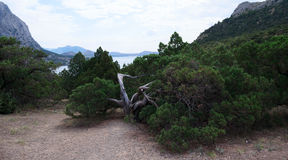 Big juniper bush growing in the reserve New World Crimea Royalty Free Stock Photography