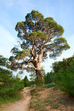 Big juniper tree on sky background Stock Images