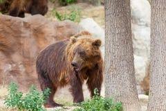 Big Kamchatka brown bear Stock Photo