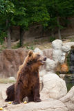 Big Kamchatka brown bear Stock Images