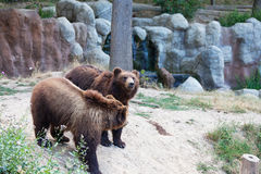 Big Kamchatka brown bear Stock Image