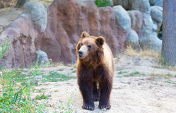 Big Kamchatka brown bear Royalty Free Stock Photo