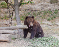 Big Kamchatka brown bear Royalty Free Stock Images