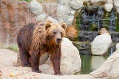 Big Kamchatka brown bear Stock Photos