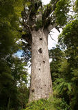 Big kauri tree Royalty Free Stock Image