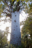 Big kauri tree hidden in the bushes, Stock Image