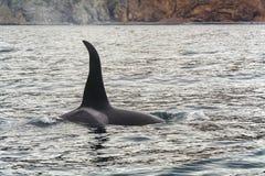 Big killer whale. At coast of the Kamchatka Peninsula stock image
