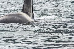 Big killer whale Orca in the sea, Kamchatka Peninsula, Russia. Close up image stock images