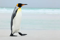 Big King penguin going to blue water, Atlantic ocean in Falkland Island, coast sea bird in the nature habitat