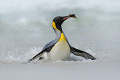 Big King penguin jumps out of the blue water while swimming through the ocean in Falkland Island Stock Images