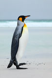 Big King penguin jumps out of the blue water while swimming through the ocean in Falkland Island. Wildlife scene from nature. Funn. Y image from nature Royalty Free Stock Photos