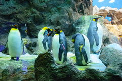 Big King penguins in Loro Parque, Tenerife, Canary Islands. Royalty Free Stock Photo
