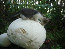So big!. The kitten is so curious, examining a very big mushroom Royalty Free Stock Images