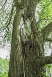 Big knot in a tree royalty free stock images