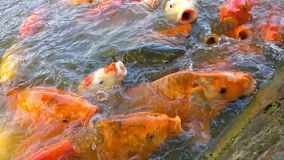 Big Koi carps in pond stock video