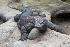 Big Komodo Dragon Royalty Free Stock Photo
