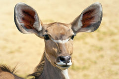 Big kudu Stock Photography