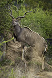 Big Kudu Stock Photos
