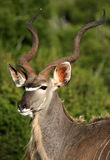 A big Kudu bull in Addo park,south africa Royalty Free Stock Photography