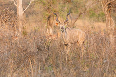 Big kudu bull graze among dead thorn shrub for leaves Stock Photos