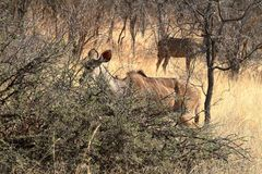 Big kudu in the savannah. The Big kudu in the savannah stock photo