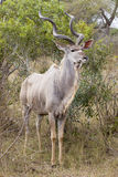 Big kudu in vertical picture Royalty Free Stock Images