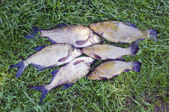 Big Lake fishes tench and  bream on green grass after fishing. Active leisure Royalty Free Stock Image