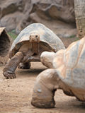 Big land tortoise Royalty Free Stock Photography