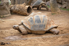 Big land tortoise Stock Photos