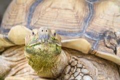 An big land turtle Stock Photos